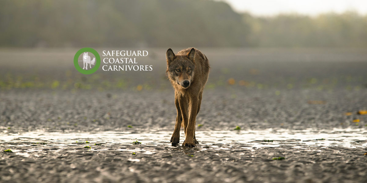 A wolf walks out on the wet flats on the west coast of BC.