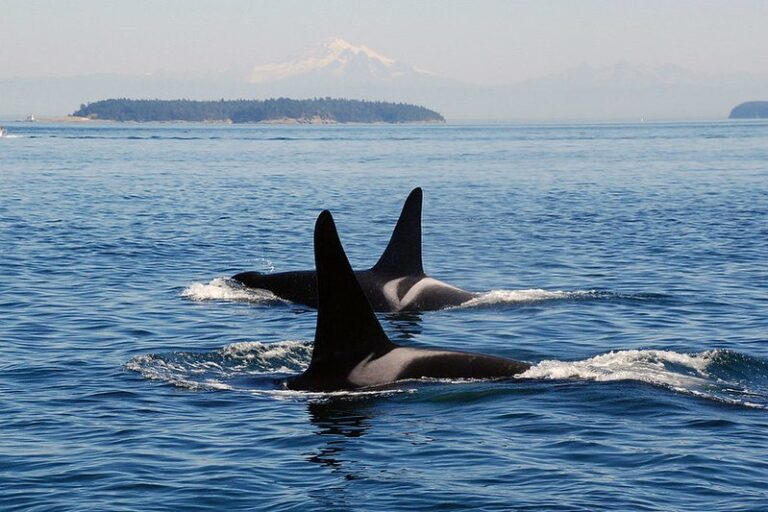 Safeguard the Southern Resident killer whales