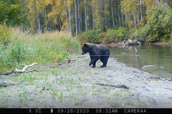 A black bear visible in the medium distance about to cross a bear research sample line by the edge of water backgrounded by forest.