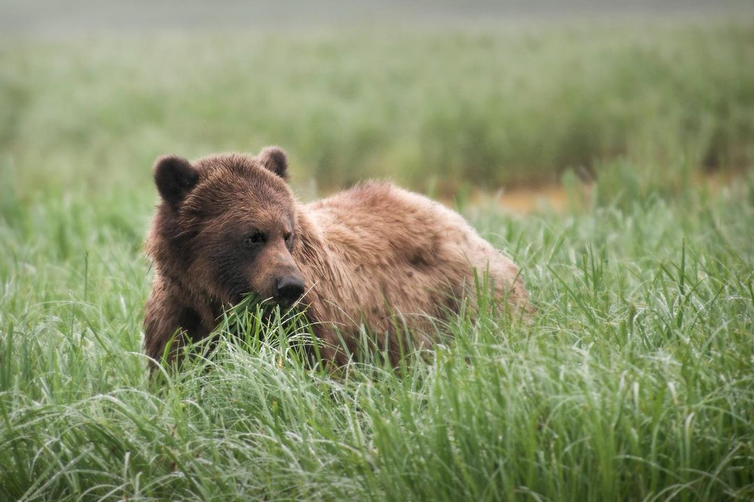 A beautiful brown bear partially hidden in the field of green grass it is standing on, turns its profile to the camera
