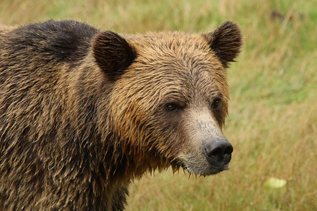 Close up of a brown grizzly