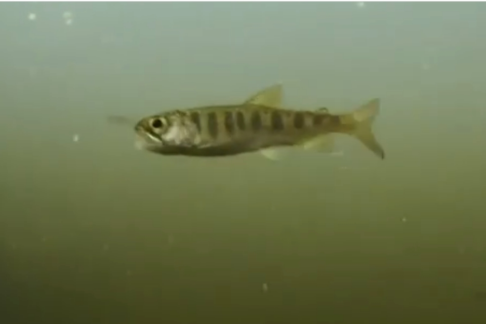 Salmon pictured underwater in murky green