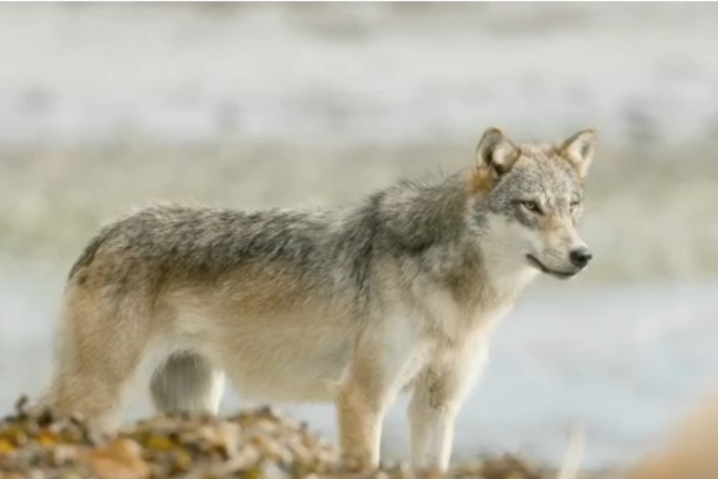 White wolf with some dark markings on its spine stands staring to the side in a full body shot with a blurred grey white background