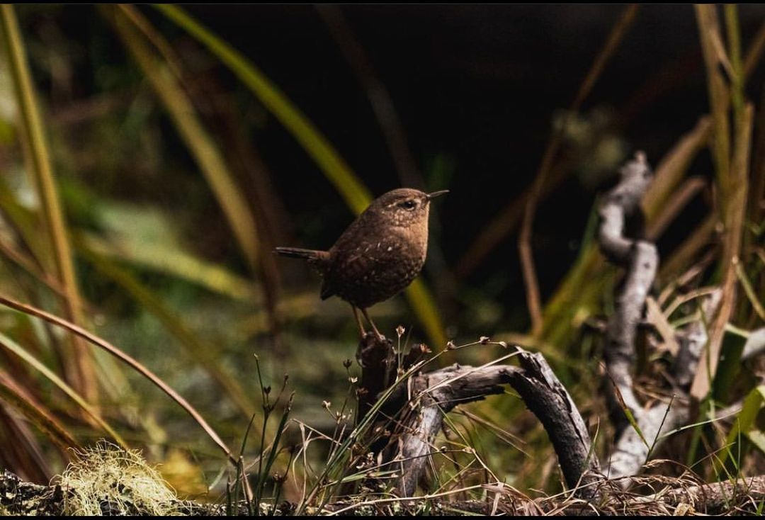 A small brown bird with a sharp black beak sits among the branches in a forest on Pender Island