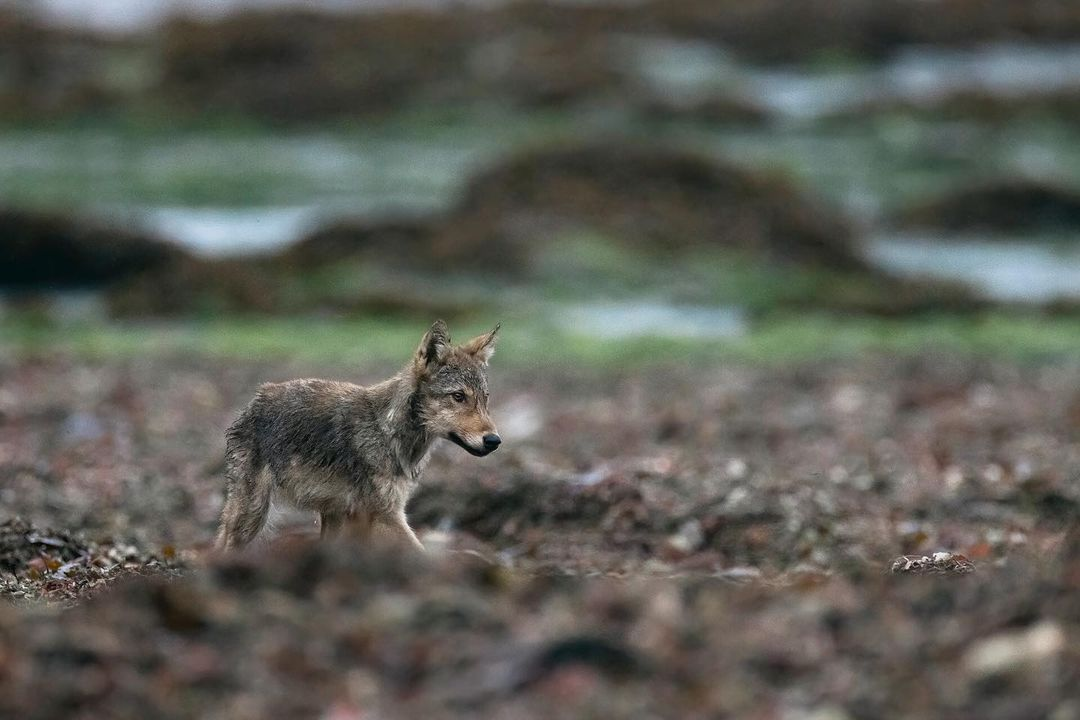 An adorable grey brown wolf cub walks along muddy rocky area with a blurred green background.