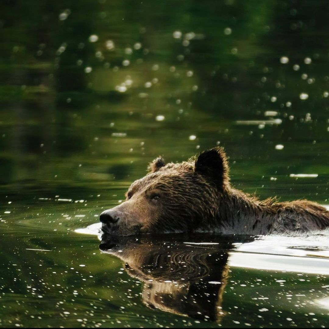 A brown grizzly bear seen head above water swimming in green water