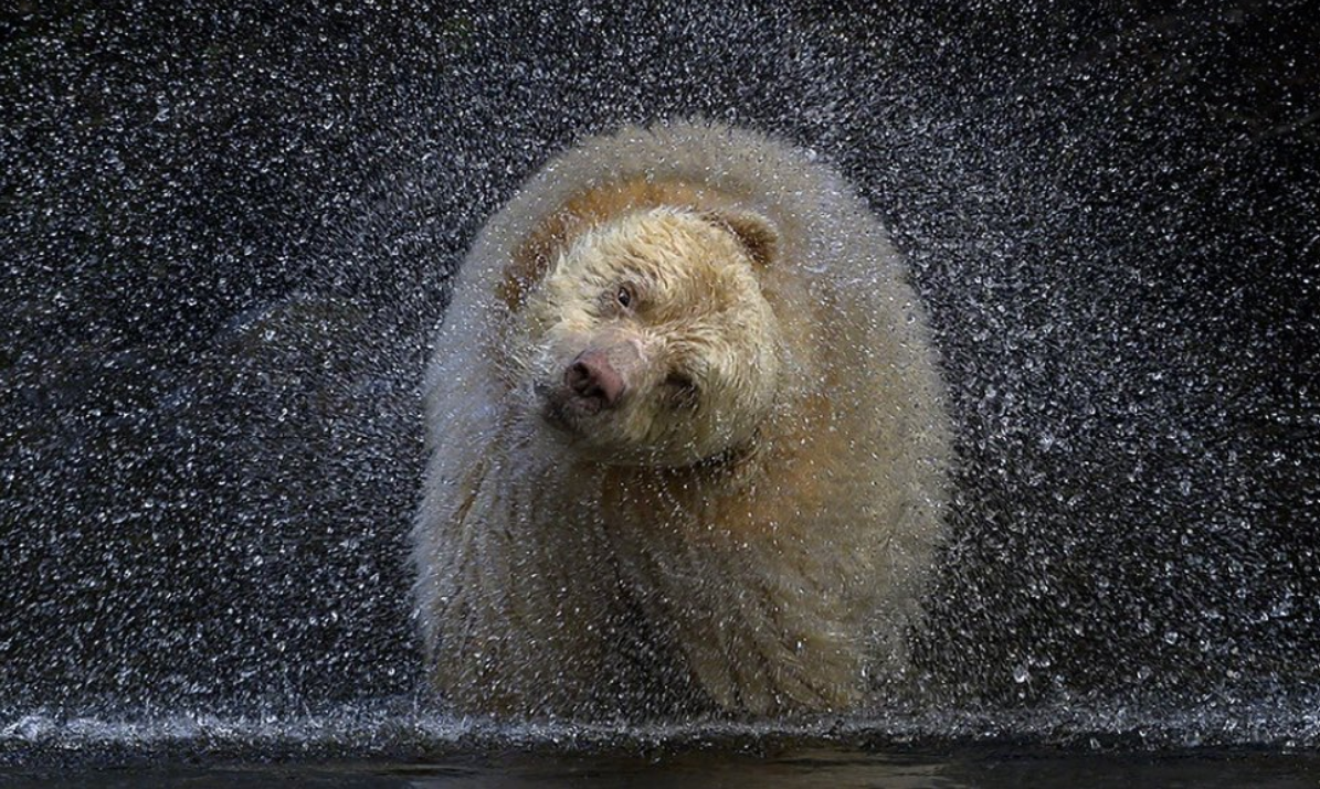 A white bear shakes their fur adorably and the water is seen spinning off their body.