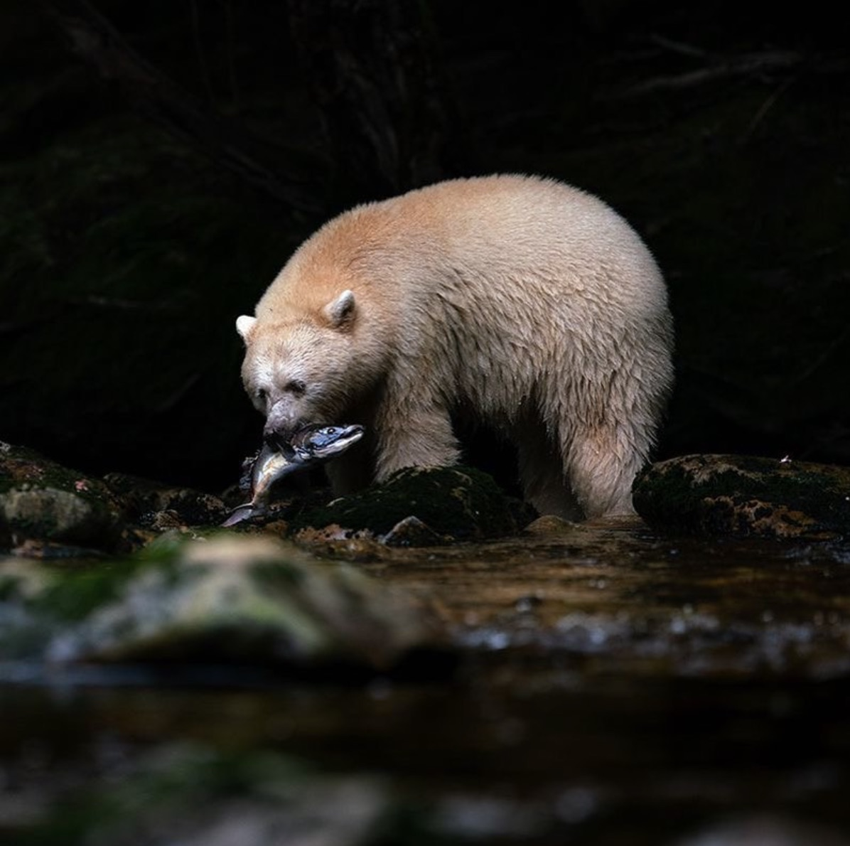 Dark background with a Spirit Bear holding a salmon in its mouth while standing at the edge of a river.