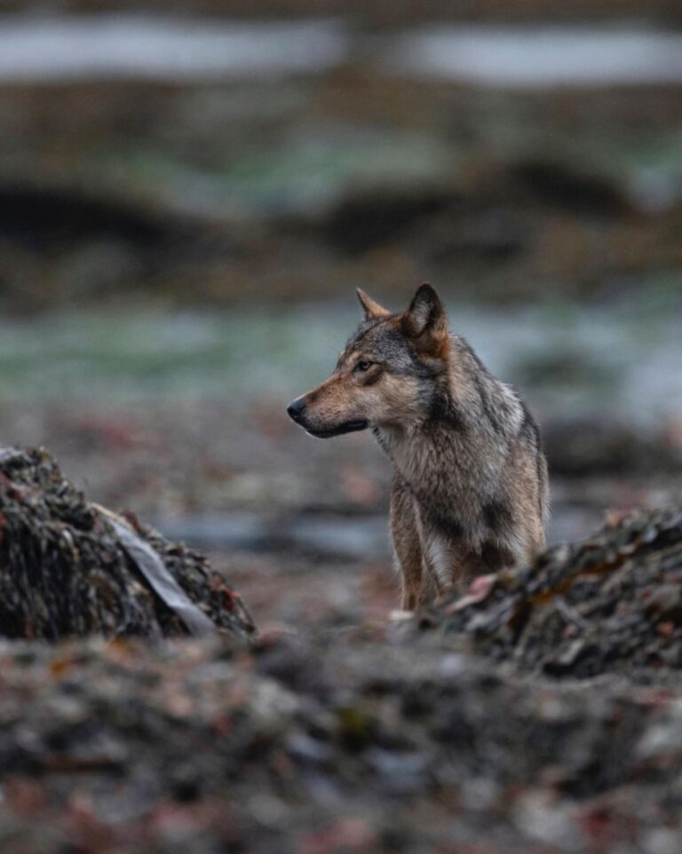 Peer reviewed study shows lethal wolf control has statistical flaws