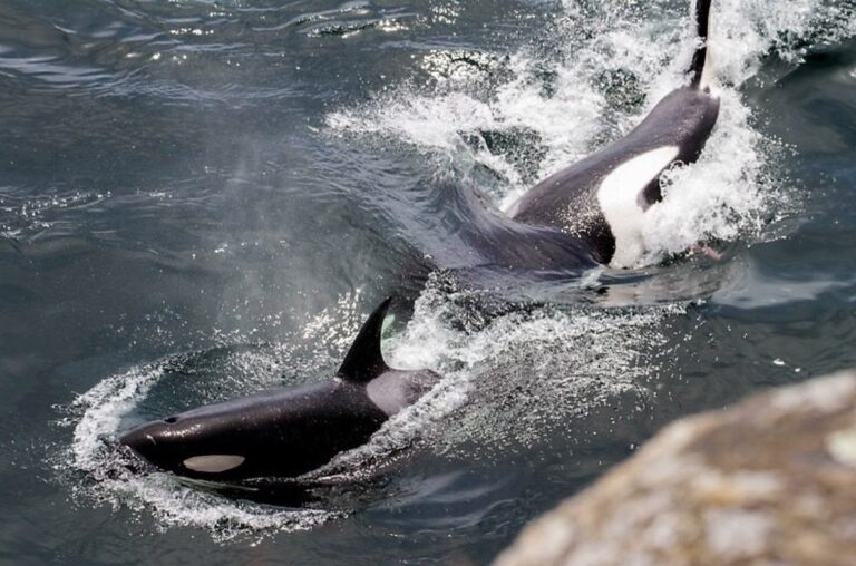 Protecting Southern Resident killer whales in the Salish Sea