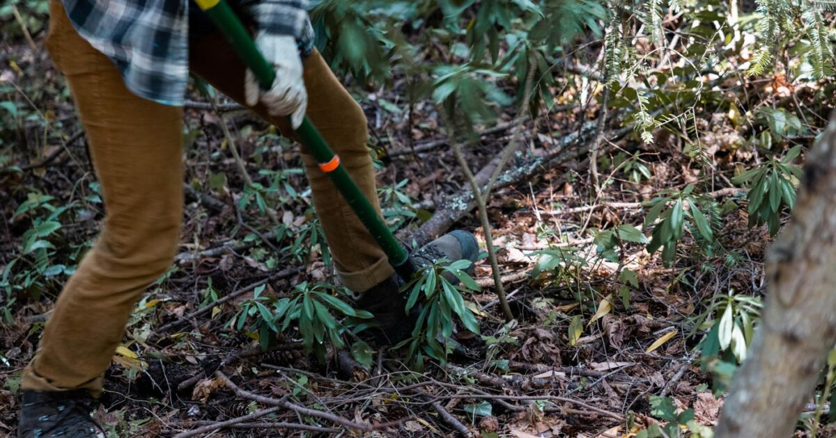 A person works in a forested area doing some conservation habitat restoration.